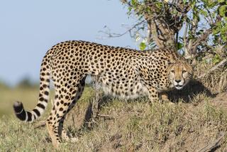 Cheetah,Gepard,acinonyx jubatus,
