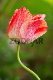 Red tulip .
