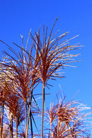 Chine reed flowers