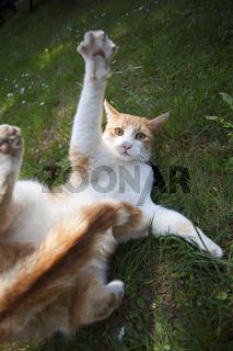 Spielende Katzenkinder auf grüner Wiese