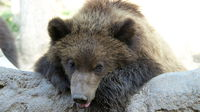 Leaning brown bear