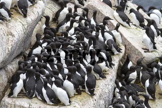 Group common murre in a colony of sea birds on the Pacific ostrvoah