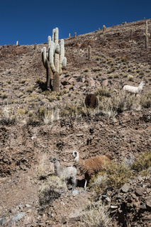 Llamas grazing near the road, Colorful valley of Quebrada de Humahuaca, central Andes Altiplano, the Great North of Argentina, Salta Province