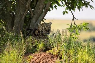 a leopard at the masai mara national park kenya africa