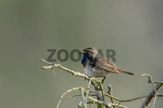 Blaukehlchen (Luscinia svecica)