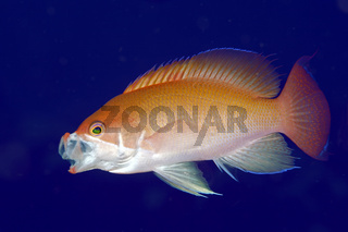 Male Stocky Anthias