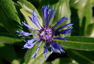 Flockenblume, Blüte, blau