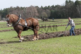 Feldbearbeitung mit Handpflug und Kaltblutpferd