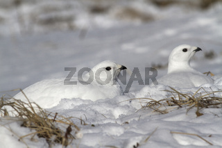 Two female quail hidden in the snow in the snowy winter tundra