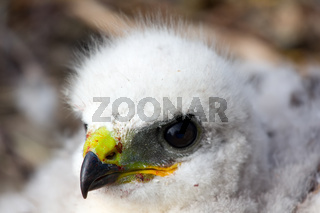 Gorgeous white bird of prey chicks: Rough-legged Buzzard. Novaya Zemlya tundra 1