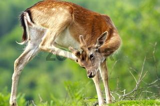 fallow deer scratching because of flies and ticks ( Dama )