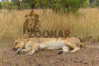 couple of lions in the kruger national park south africa
