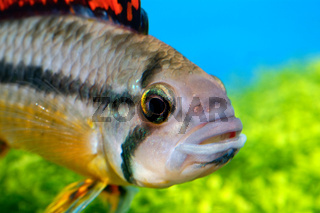 Portrait of Apistogramma fish