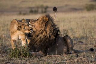 Panthera leo,lion,Loewe,