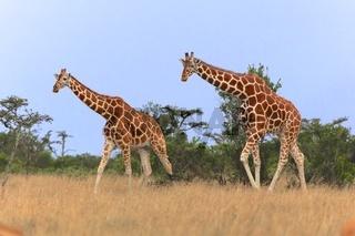 two giraffes walking in the samburu national park kenya