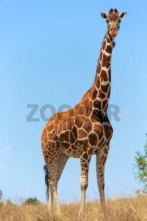 beautilful masai girafe at a samburu kenya