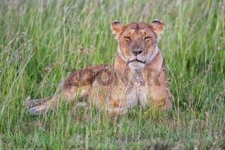 beautiful lioness resting at the masai mara national park kenya