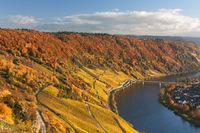 Moselschleife mit Weinbergen im Herbstlaub bei Traben-Tarbach