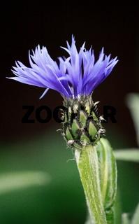 aufblühende blaue Blume, Flockenblume