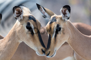 Closeup of two blackfaced Impala.