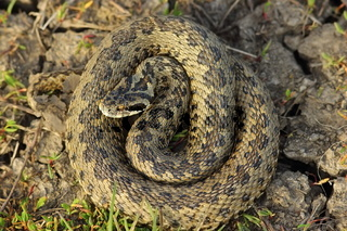female vipera ursinii rakosiensis in situ ( hungarian meadow adder )