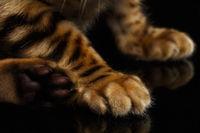Closeup Paws of Bengal Kitty on Black