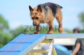 Australian Terrier at a Dog Agility Trial