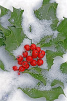 Frozen Holly branch with red berries