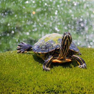 Nahaufnahme einer Schildkröte in einem Brunnen