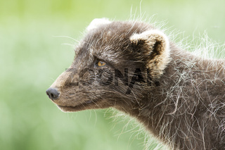 Portrait of a Commanders blue arctic fox in summer