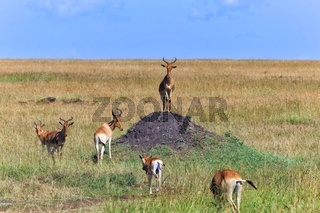 herd of hartebeests at the masai mara national park