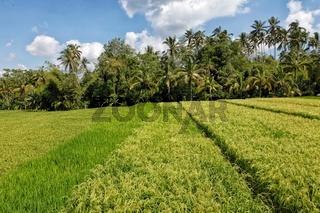rice terrace near ubud in bali indonesia