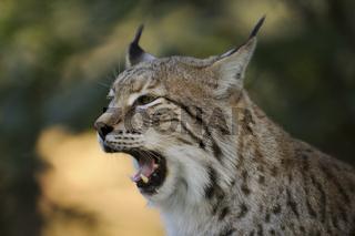 Raubzähne... Eurasischer Luchs *Lynx lynx*