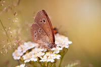 Aphantopus hyperantus or Ringlet brown butterfly