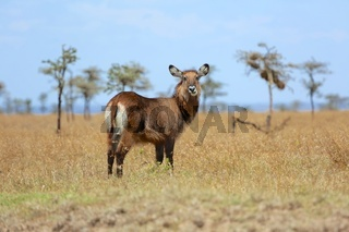young waterbuck at masai mara national park