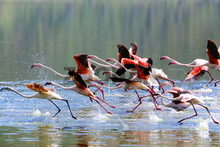 flamingoes taking off at  lake bogoria