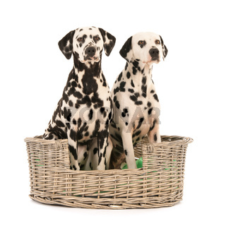 Dalmatian dogs in wicker basket