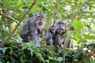 Family of monkeys with babies in Ubud Sacred Monkey Forest