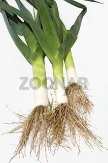Lauch - Allium ampeloprasum
