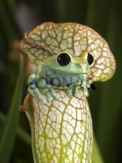 Maroon Eyed Tree Frog on White Pitcher Plant