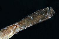 Syngnathus typle, Grasnadel, Seenadel