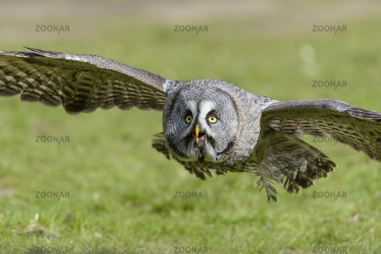 Bartkauz, Strix nebulosa, Great gray owl
