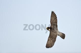 Kurvenlage... Wanderfalke *Falco peregrinus*