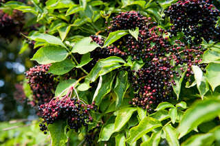 Elderberry fruits fresh clusters on plant