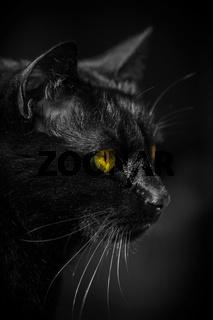 Katze Kater Augen gelb