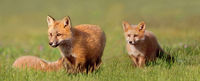 Young Fox Kit's at Play