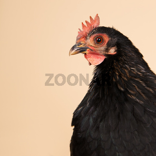 Chicken in studio on cream background