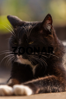 Katze Kater m Portrait