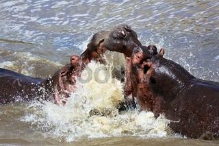 hippo fighting at the masai mara national park kenya africa