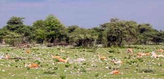 Springböcke mit dunklem Himmel, Etosha, Namibia, Antidorcas marsupialis, springboks with dark sky